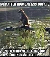 "Funny Raccoon refrigerator magnet 3 1/2 x 3 1/2 """