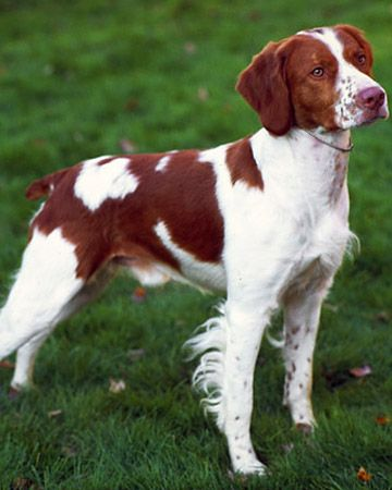 Brittany Spaniel. I like this breed. I hear they are very smart. Our elderly neighbour always had a Brittany! Her name was Annie, and the one before her was Maggie.