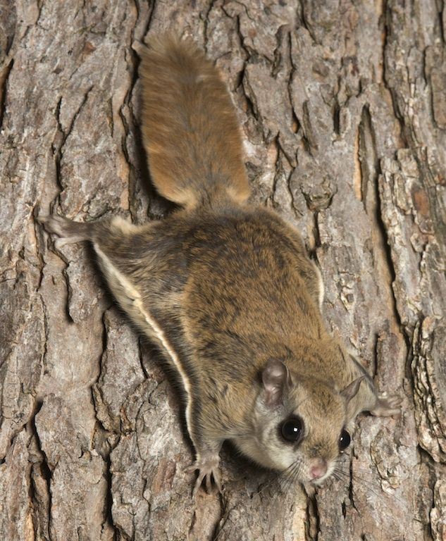 NORTHERN & SOUTHERN FLYING SQUIRRELS....found in woodlands of North America and south into Mexico and Honduras.....weighs 2.6 to 4.9 ounces.... measures 10.8 to 13.5 inches long....clumsy on the ground, but can glide gracefully up to 160 feet) from tree to tree