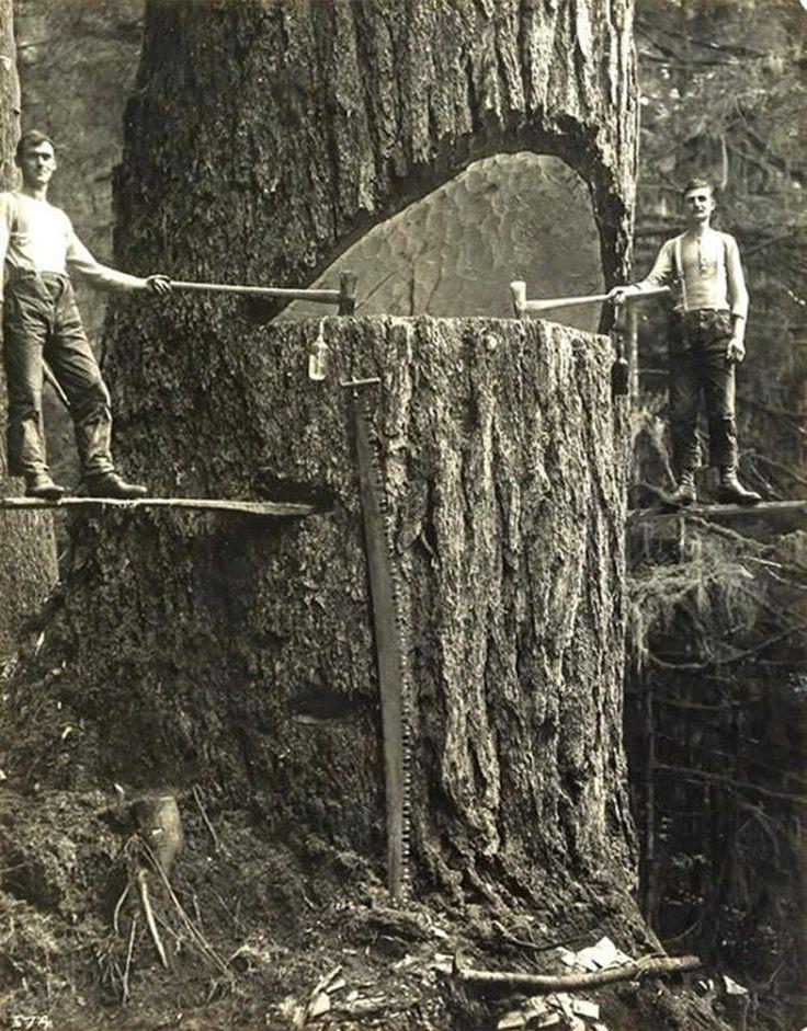 1915 Des bûcherons de Portland, posant à côté d'un arbre géant