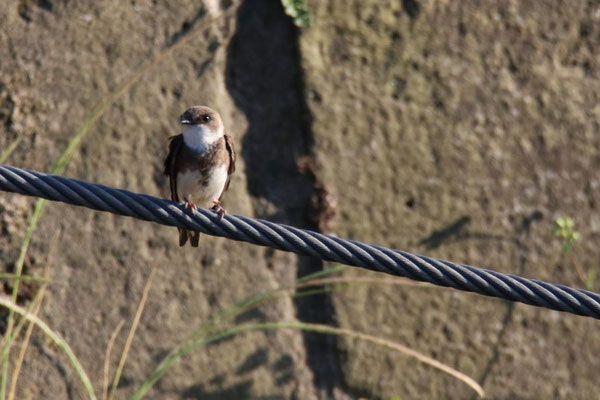 Am Elbeufer Beobachtet Tierwelt Coswig Schwarzkehlchen Tiere Seerosenteich