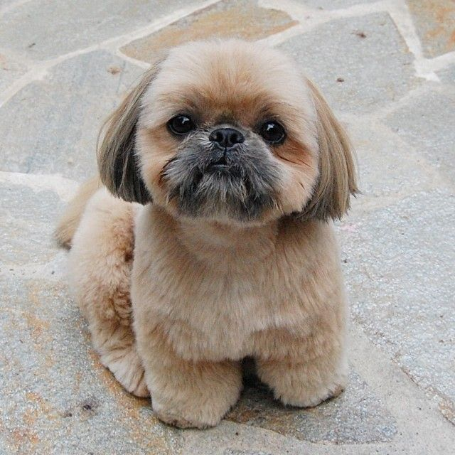 333 Best Images About Shih Tzus On Pinterest Dog Day
