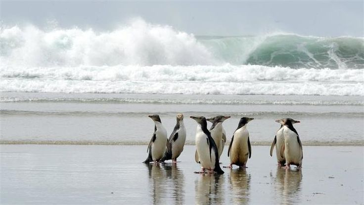 Penguins in Dunedin, New Zealand