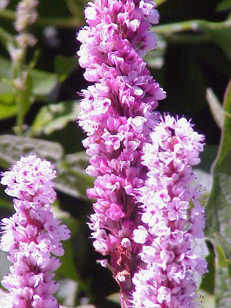 Polygonum affine; Nanda Devi and Valley of Flowers National Parks, Uttarkhand, India