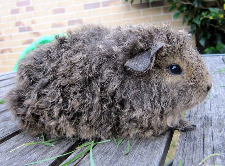 All Things Guinea Pig: Texels texels everywhere! (oh, and a Peruvian)
