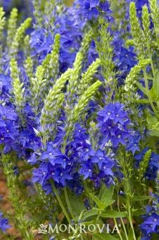 Crater Lake Blue Sdwell A Graceful Spreading Plant With Star Shaped Intensely