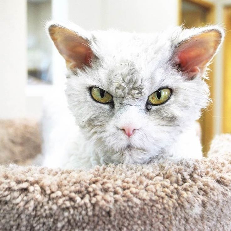 albert-sheep-cat-7