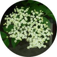 Syrop z kwiatu czarnego bzu