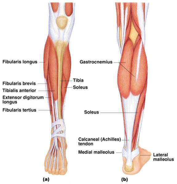 Muscles Of The Lower Leg Google Search Sports Med Pinterest