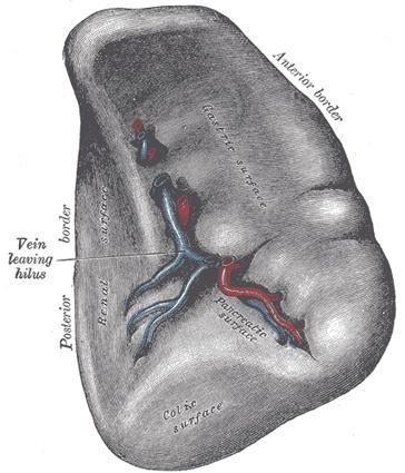 Mejores 16 imágenes de Spleen en Pinterest | Abdomen, Anatomía y ...