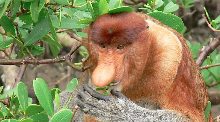 The Amusing proboscis monkey. Orangutan Adventure Holiday, Tanjung Puting, Borneo (Indonesia) - Pioneer Expeditions