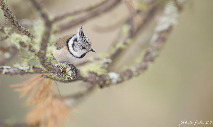 crested tit by Federico Pribaz on 500px