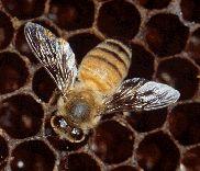 CONHECENDO AS ABELHAS Quando ouvimos falar de abelhas, geralmente lembramos imediatamente das abelhas italianas ou africanas, o mel que produzem e as ferroadas que podemos levar caso não tomemos cuidado. Mas o mundo das abelhas é bem mais complexo do que isso! As abelhas italianas ou africanas (Apis mellifera) constituem apenas raças de uma única espécie de abelha, entre as mais de 20.000 espécies conhecidas atualmente. Na verdade,