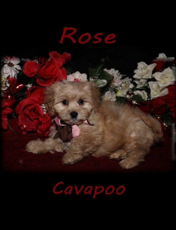 Puppies For Sale Cavapoo Cavapoos F Category In Brimfield