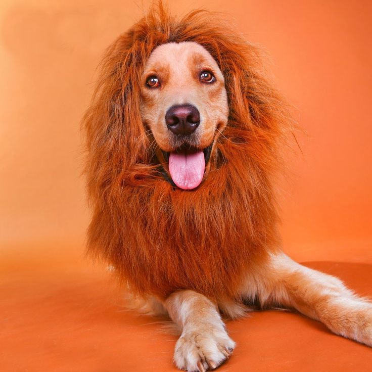 Baby-story Pet Costume Lion Wigs or Lion Mane for Large Dog, Perfect for Festival Party or Fancy Dress Party *** Check this awesome product by going to the link at the image. (This is an affiliate link and I receive a commission for the sales)
