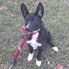 List of dog crossbreeds - Wikipedia, the free encyclopedia