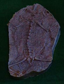 Triadobatrachus is an extinct genus of frog-like amphibians, including only one known species, Triadobatrachus massinoti. It is the oldest member of the frog lineage known, and an excellent example of atransitional fossil. It lived during the Early Triassic about 250 million years ago, in what is now Madagascar.