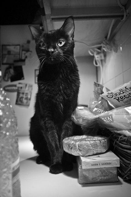 bombay cat Beautiful cat. Incensewoman