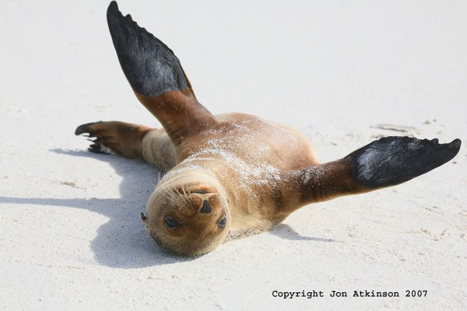 Galapagos sea lion stretches on the beach: Galapagos islands sea lion are fin-footed mammals with amazing abilities in water. Adult males known as bulls are the head of the colony. Bulls grow to be up to 7 feet (2 meters) in length and 800 lbs (363 kg).
