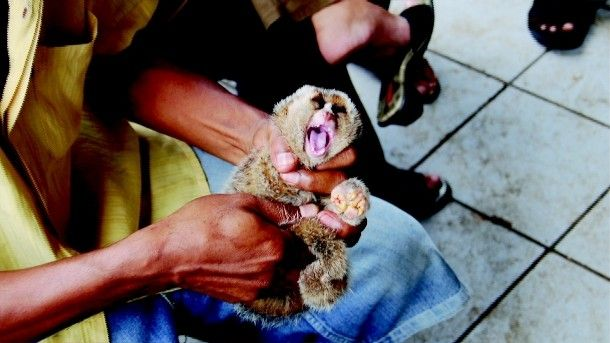 Slow Loris Animal Cruelty | Nat Geo WildCheck your local listings. The Exotic Trade: Slow Loris Animal Cruelty Many animal traffickers kidnap slow lorises from their homes in the thick jungle and traumatize them by keeping them on busy city streets. ... Boycott the exotic animal trade. Do not support this abuse by buying exotic animals.