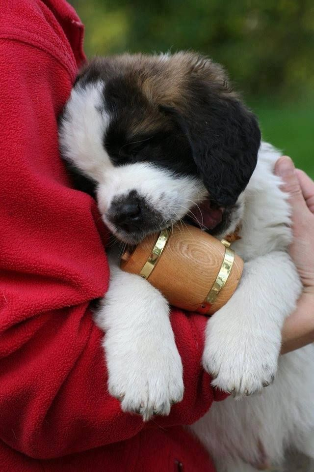 We Have Healthy Beautiful Saint Bernard Puppies For Sale With Papers Of Akc Registration Papers And Microchip Pap St Bernard Puppy Puppy Adoption Saint Bernard