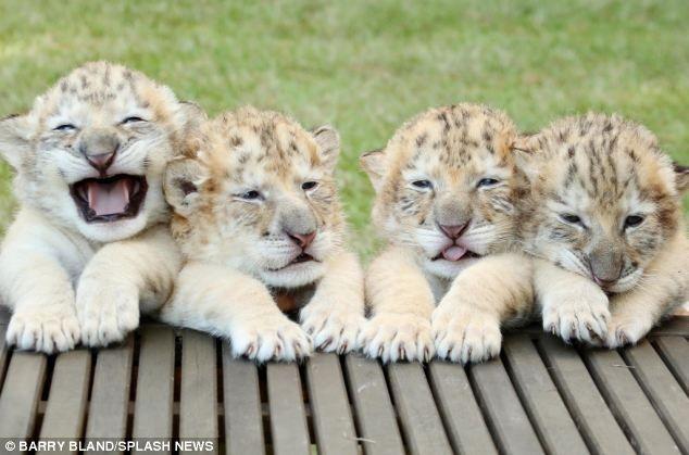 De un una tigresa y un león albinos, han nacido unos cachorros adorables y…