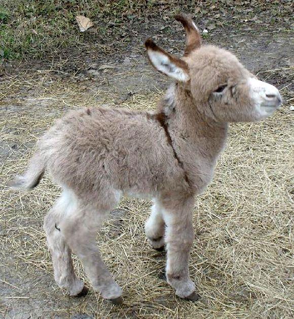 fuzzy baby burro: Babies, Baby Donkeys, Minis Donkeys, Pet, Farms, Mini Donkey, Baby Animal, Miniature Donkey, Miniatures Donkeys