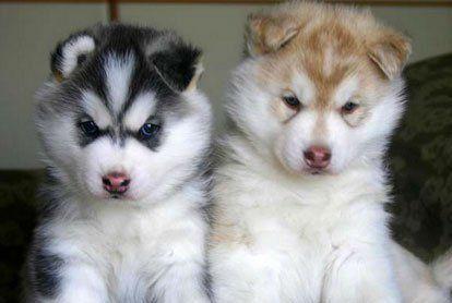 Сибирский хаски (Siberian Husky) – описание породы собаки, фото, щенки сибирской хаски, питомники | Animal.ru