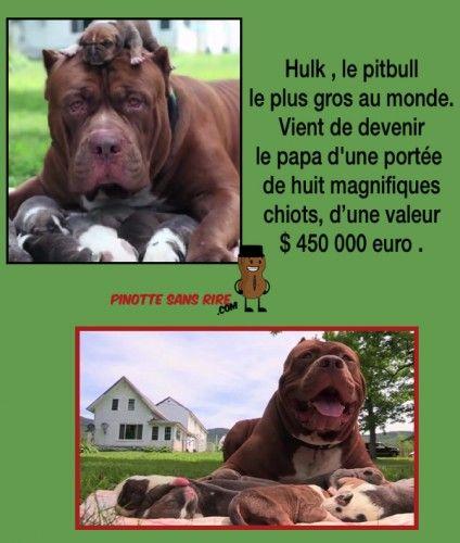 vidéo a voire .......Du haut de ses 22 mois et ses 79 kilos, Hulk pourrait bien être le plus grand Pitbull du monde.  Des chiots qui valent de l'or Hulk serait un croisement d'un Bulldog américain et d'un American pitbull terrier, et sa descendance vaut de l'or. &quo