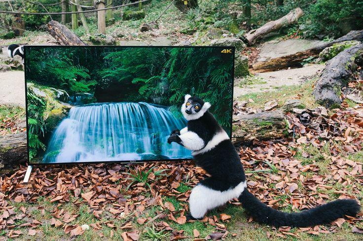 Și lemurii se uita la televizoarele Sony BRAVIA 4K