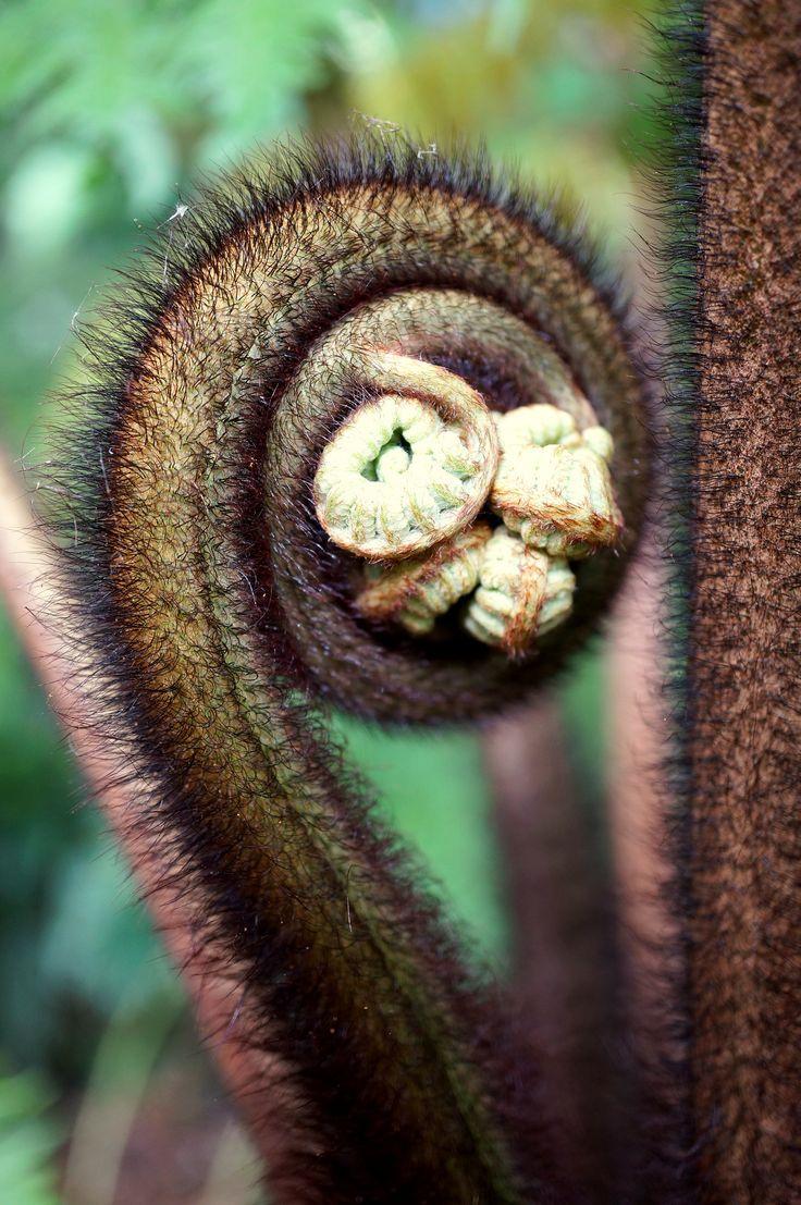 Cibotium menziesii | por c.young