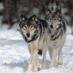 Firma e diffondi per chiedere lo stop la caccia al lupo