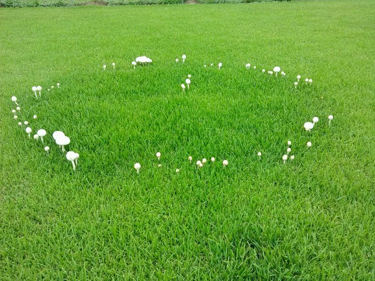 """We have 3 of these rings in the grass by my office, I hear they are called """"ferry circles"""" ?"""