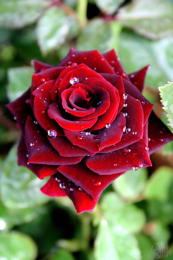 red rose-Reminds me of our wedding. I searched and searched for the most perfect type of velvety roses. I ended up with a variety called Black Magic, a deep, dark, velvety red. Beautiful and luxe.