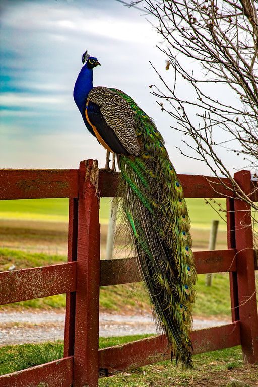 Peacock - Posing on the fence. - by Lyons Den Pictures