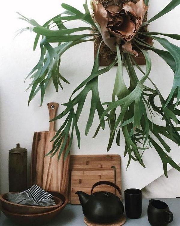 Helecho Australiano o Cuerno de Alce. Plantas extrañas. Plantas para interiores. Platycerium.