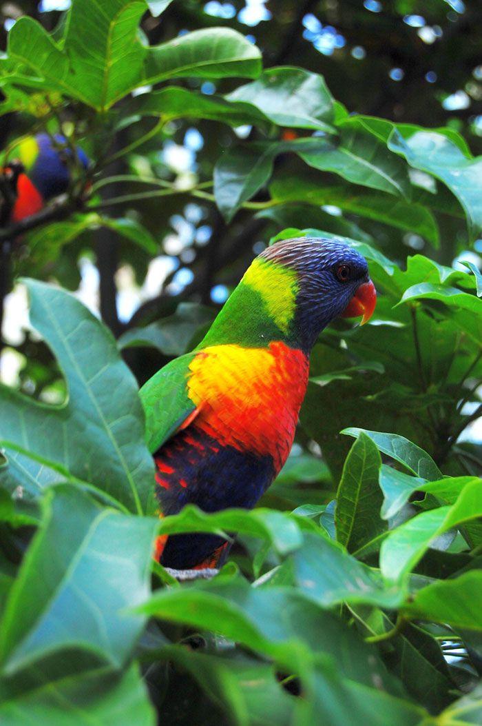 Parrot Lone in Pine-Koala in Brisbane http://maloufdental.com.au/