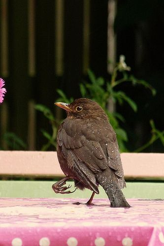 female blackbird | I saw her with the broken foot last year … | Flickr