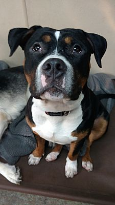 Pottsville, PA - Pit Bull Terrier. Meet Tony a Dog for Adoption.
