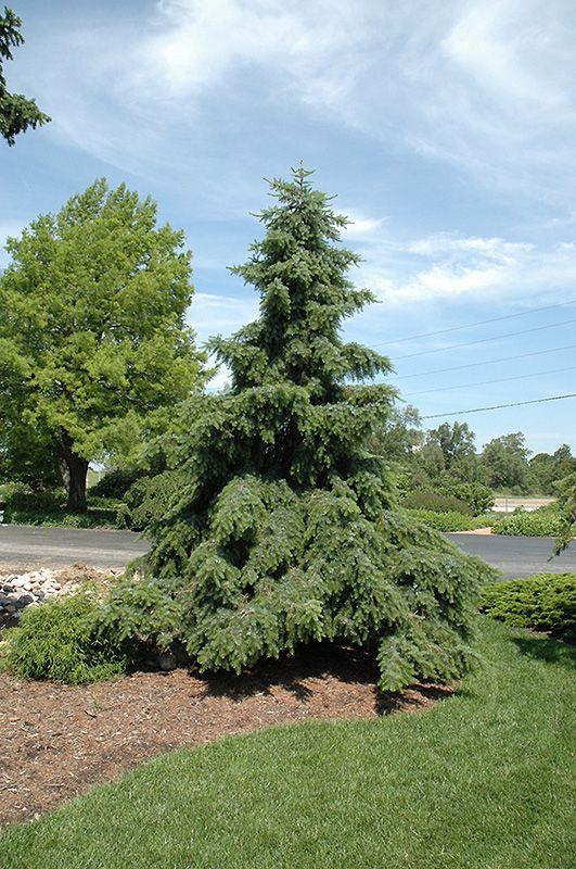 Weeping Serbian Spruce (Picea omorika 'Pendula') at Lurvey Garden Center