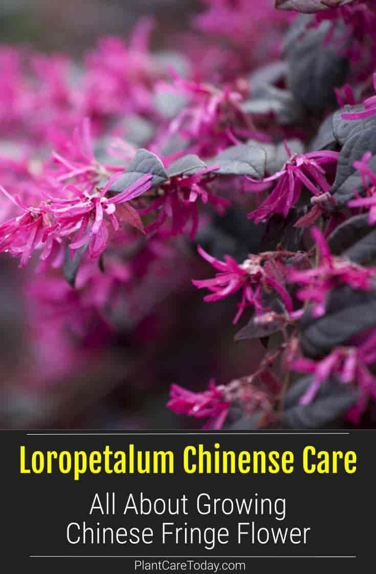 Loropetalum Chinense Care How To Grow Chinese Fringe Flowers