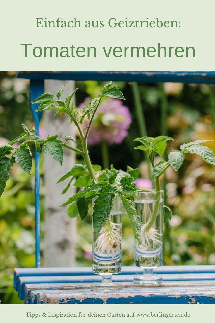 Neue Tomaten Aus Geiztrieben Ziehen Vermehrung Leicht Gemacht In 2020 Pflanzen Garten Pflanzen Garten