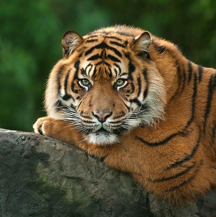 """bela vida selvagem: """"Tiger by Wendy""""   – Tiger"""
