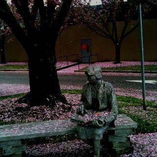 Pink blossom snow, Seattle WA