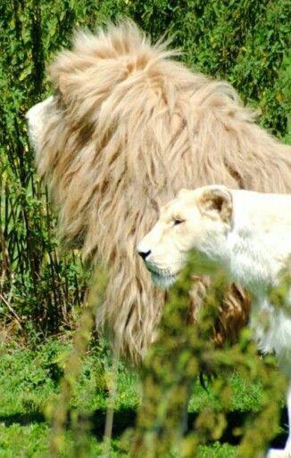 Lion, ,lionne blanche parc des félins
