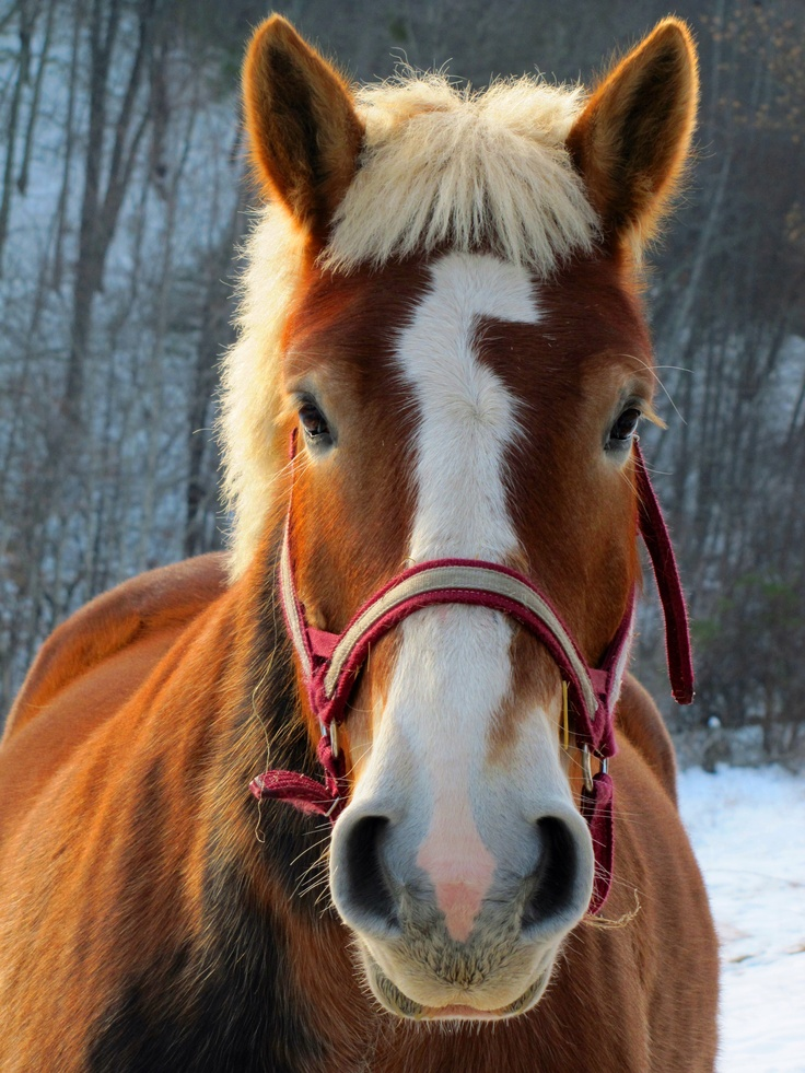 Belgian Horse How Could You Not Love That Face With