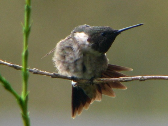 Hummingbird- (Oh the Stretch) Photographed by Teresa Albert