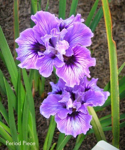 best irises ideas on   iris flowers, iris and, Beautiful flower
