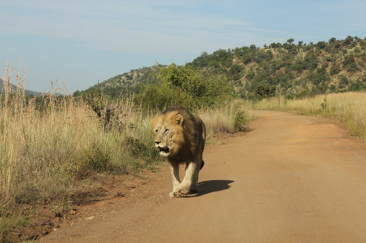 Lion - Pilanesberg, South Africa