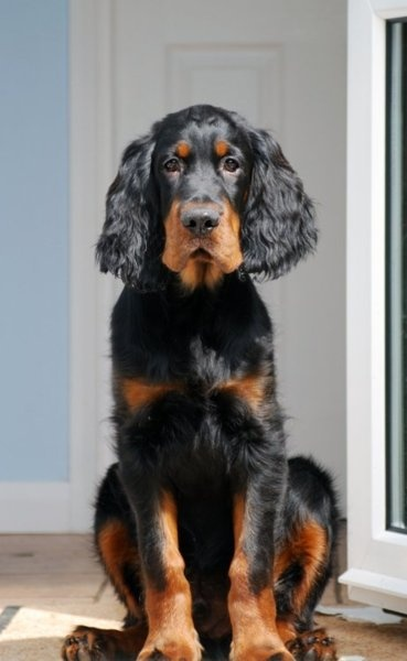 Gordon Setter ~ Classic Look & Trim